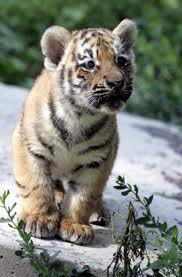 Tiger_cub